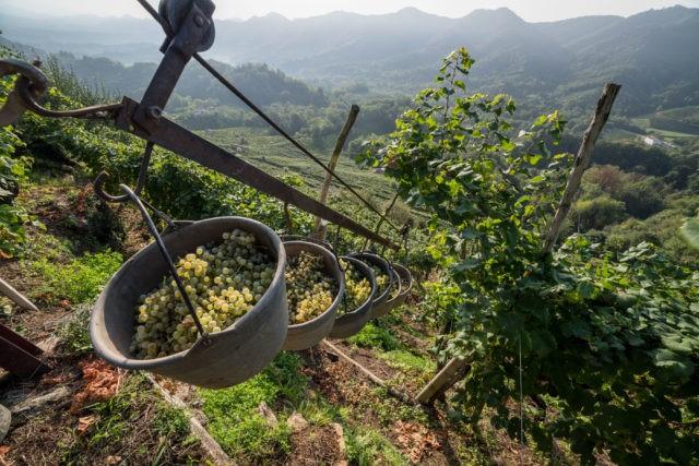 Prosecco transport winogron